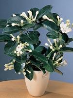 Doftranka, Stephanotis floribunda
