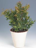 Vippmyrten, Syzygium paniculatum