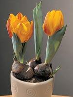 Tulpan, Tulipa hybrid