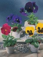 Pensé, Viola x wittrockiana-hybrid