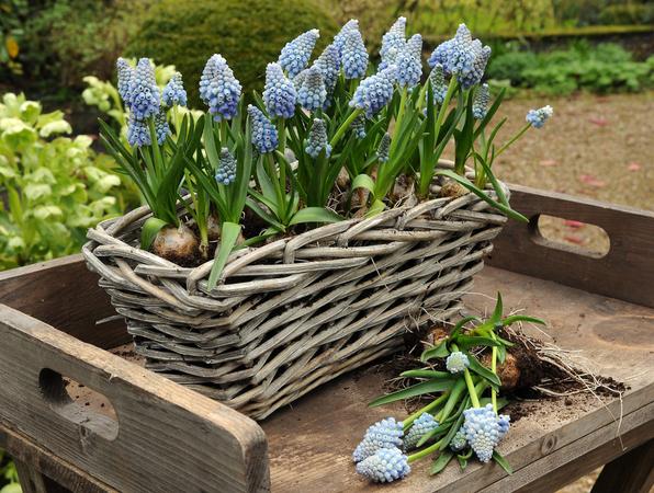 Blå pärlhyacint, _Muscari armeniacum_, Ocean Magic® är populära!  Foto: Blomsterfrämjandet