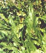 Trädgårdssyra